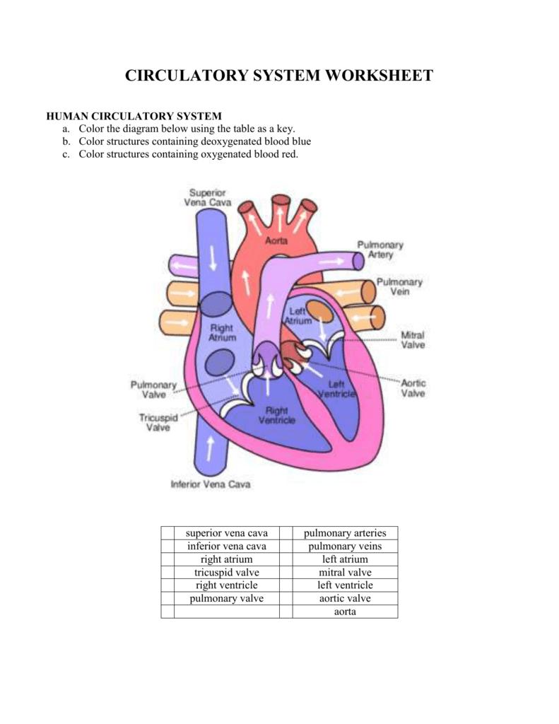 Blood Flow Worksheet Answer Key — excelguider.com