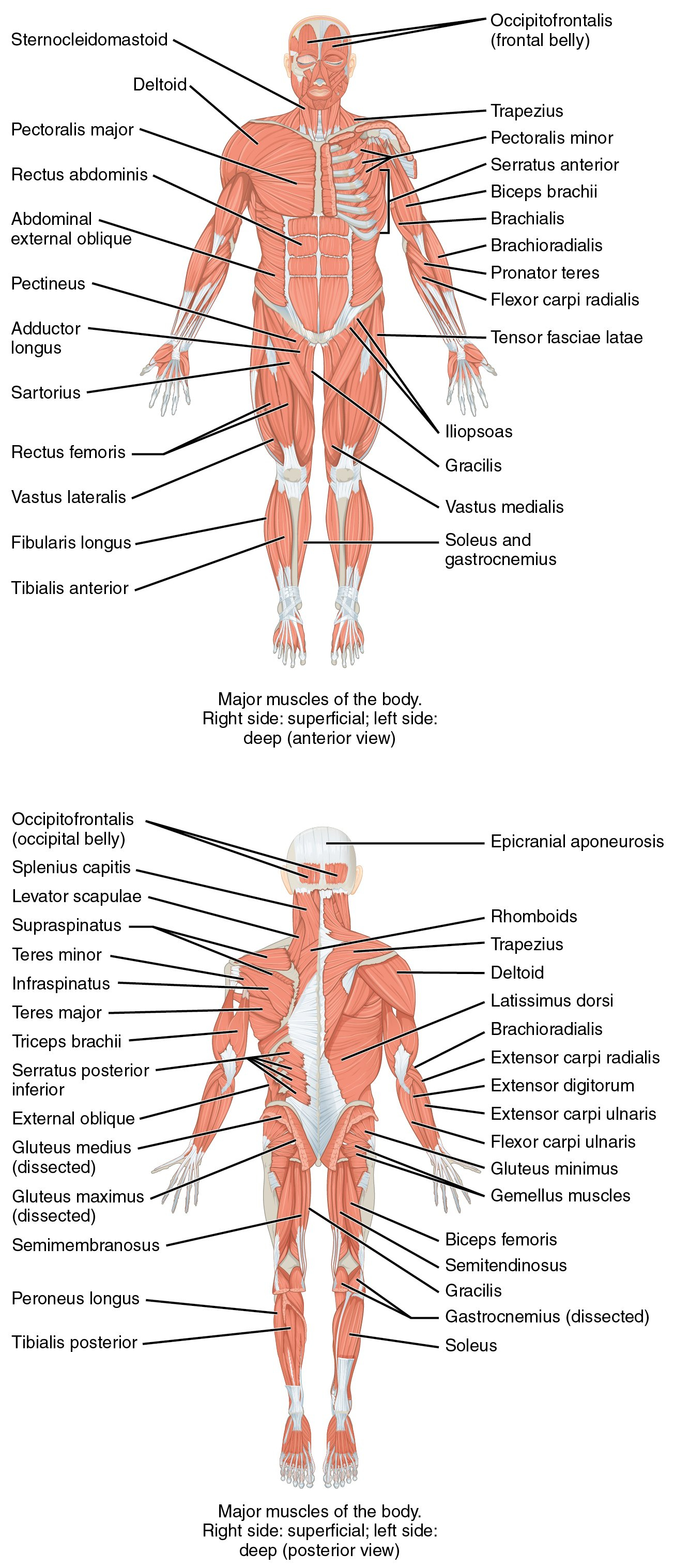 112 Naming Skeletal Muscles – Anatomy And Physiology With Regard To Muscular System Worksheet