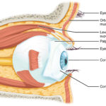 141 Sensory Perception – Anatomy And Physiology Also The Eye And Vision Anatomy Worksheet Answers