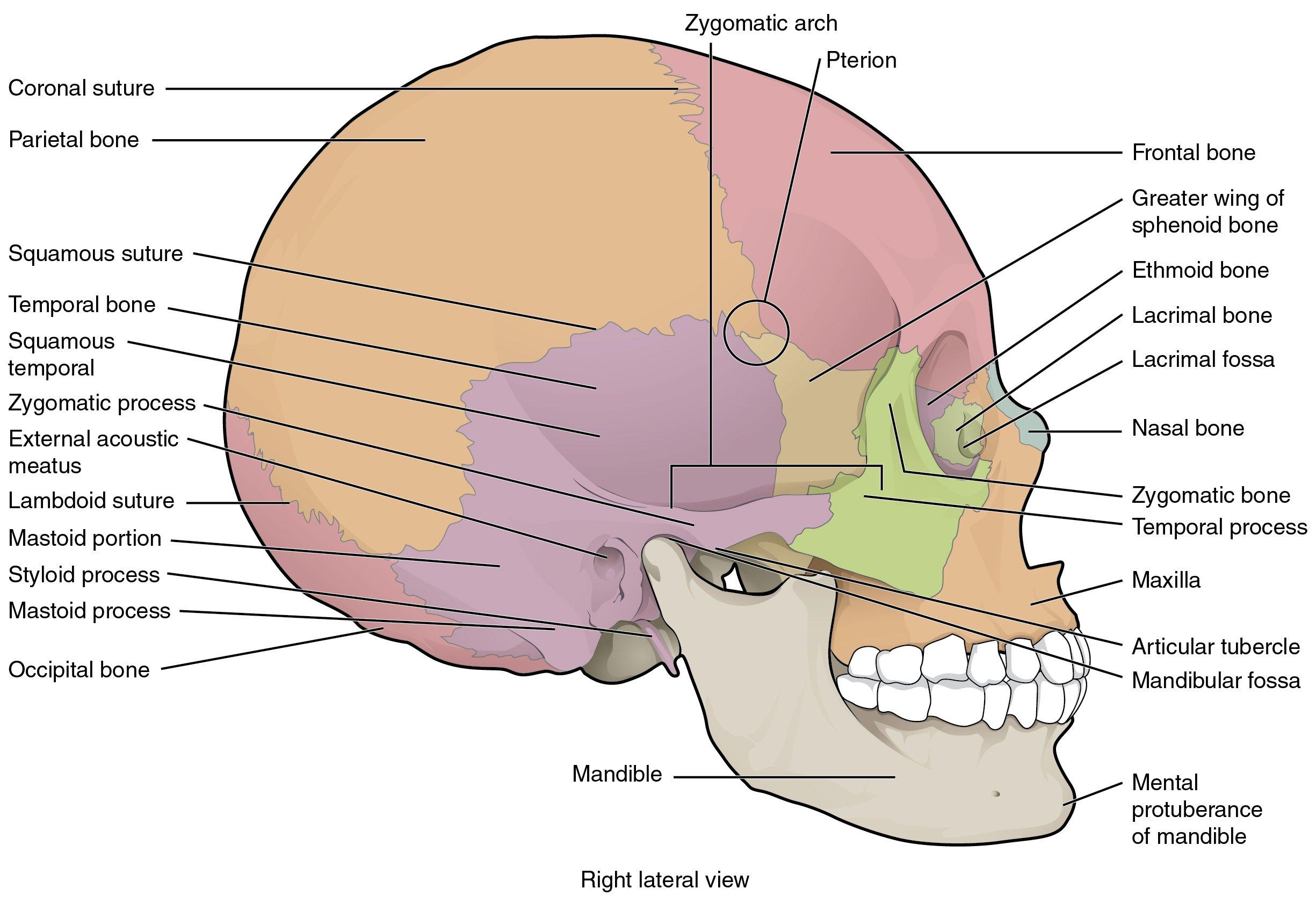 Skull Labeling Worksheet — excelguider.com