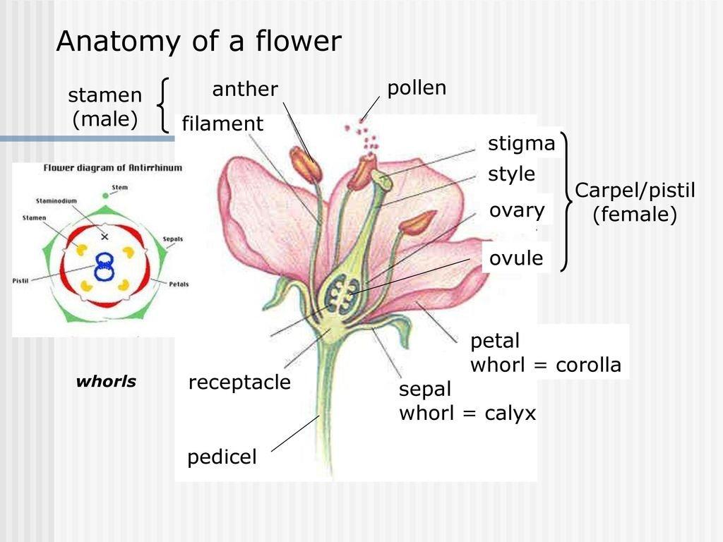 Anatomy Of A Flower Anther Pollen Stamen Male Filament Stigma And Flower Anatomy Worksheet Key