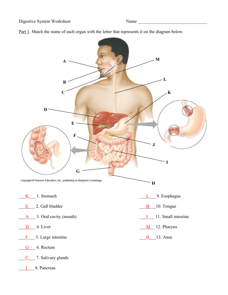 Anatomy Quiz – Digestive System Also Digestive System Worksheet Answers