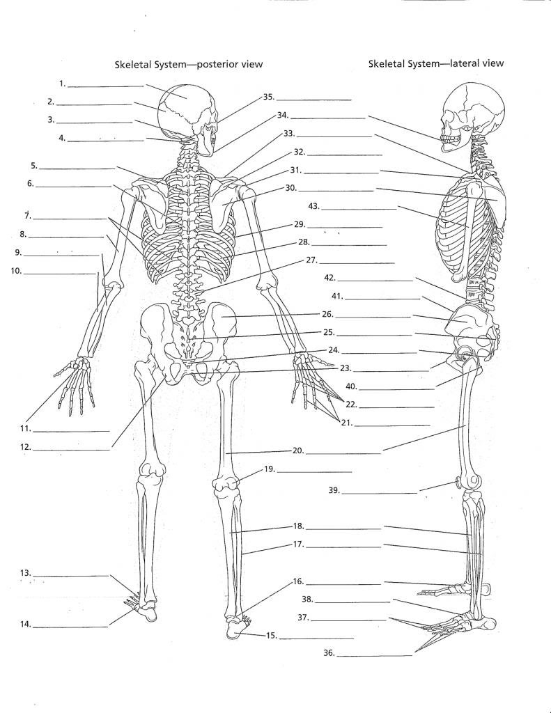 Anatomy Worksheets  Yooob Inside Anatomy And Physiology Worksheets