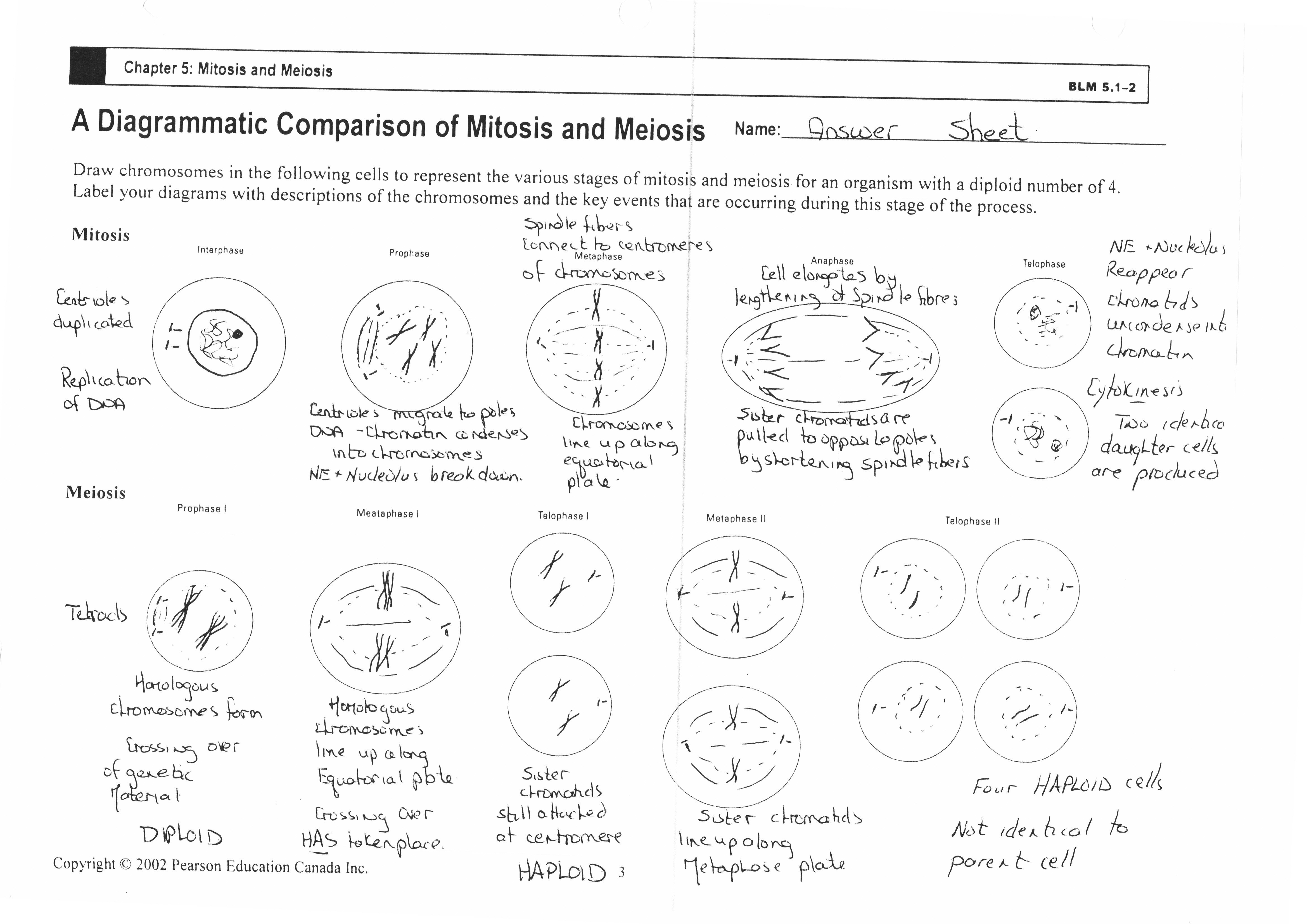 Cool Meiosis Worksheet Answer Key  Worksheet Inside Mitosis And Meiosis Worksheet Answer Key