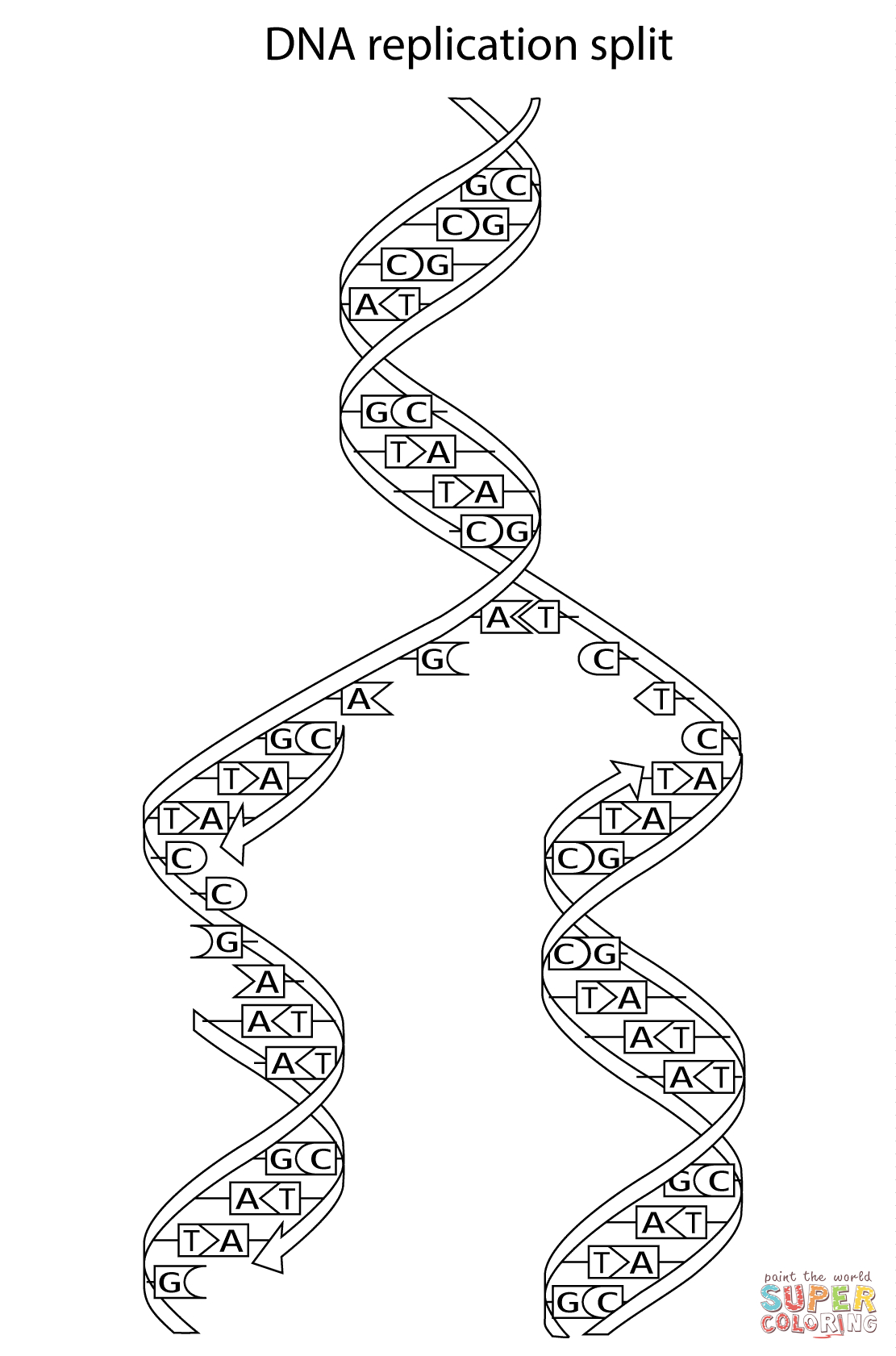 Dna Replication Split Coloring Page  Free Printable Coloring Pages Or Dna Replication Coloring Worksheet