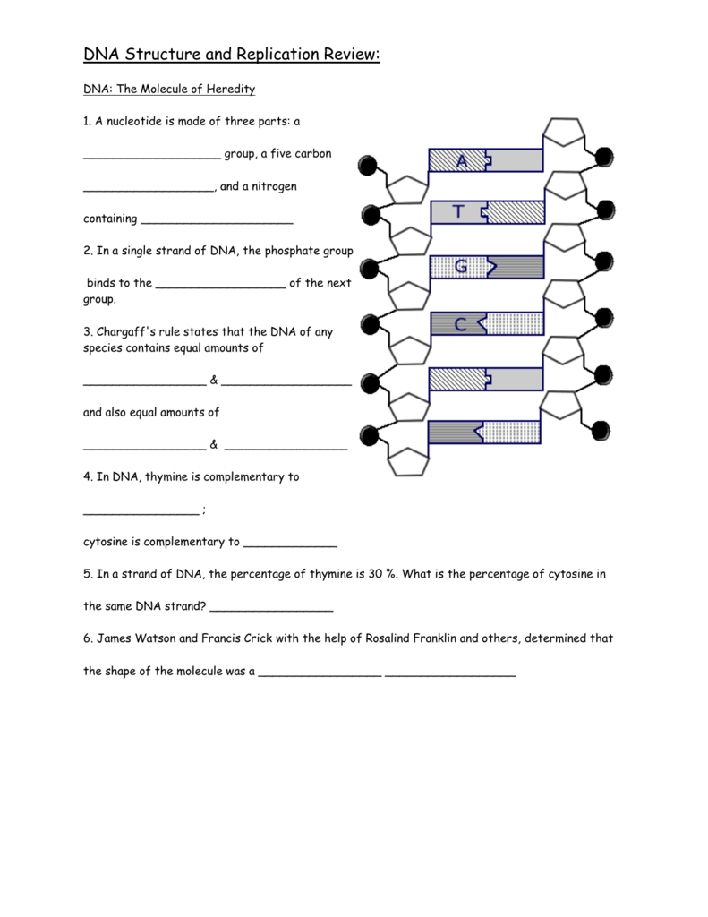 Dna Structure And Replication Review Throughout Dna Structure And Replication Worksheet Answer Key