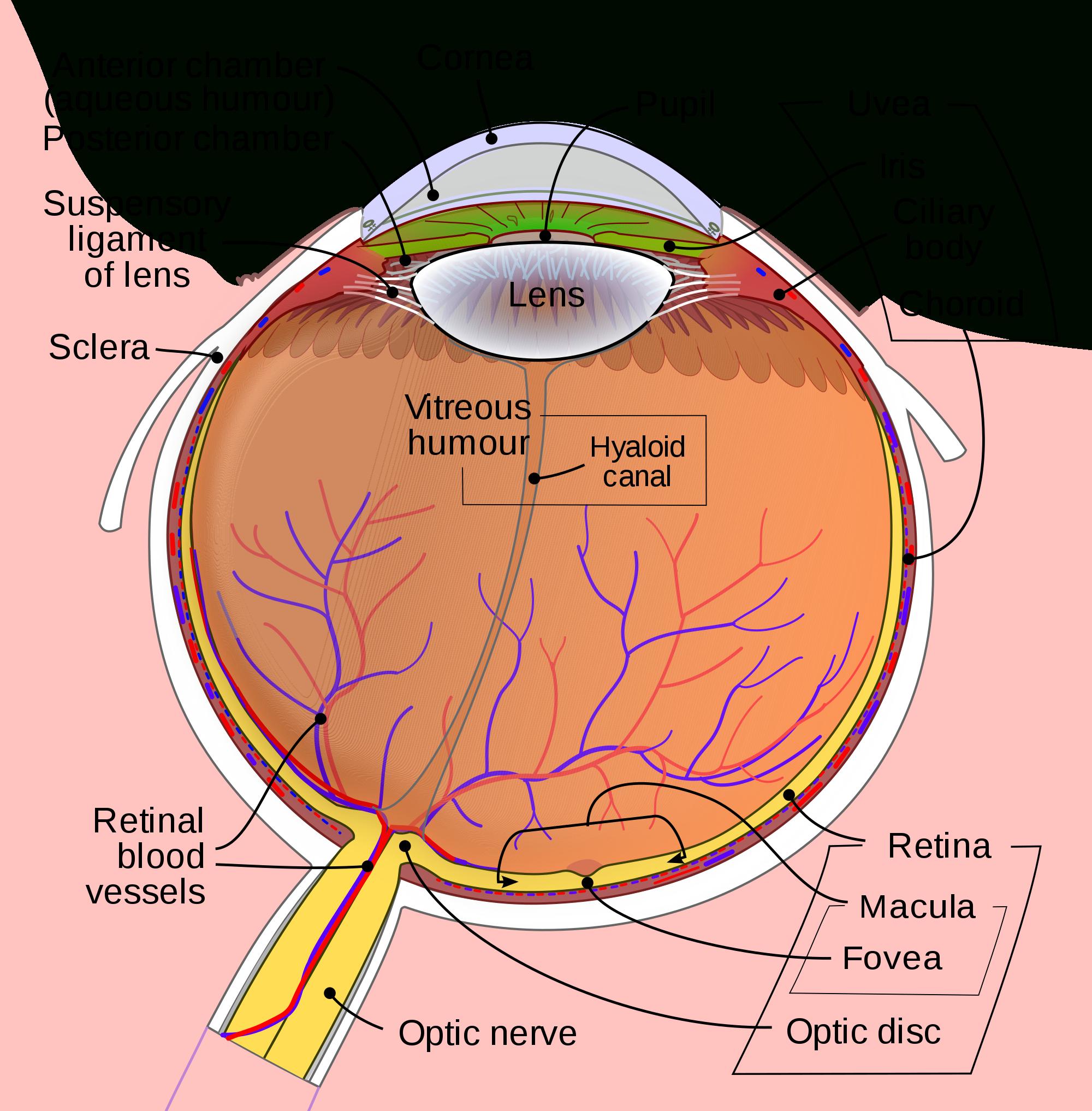Eye  Wikipedia Or The Eye And Vision Anatomy Worksheet Answers