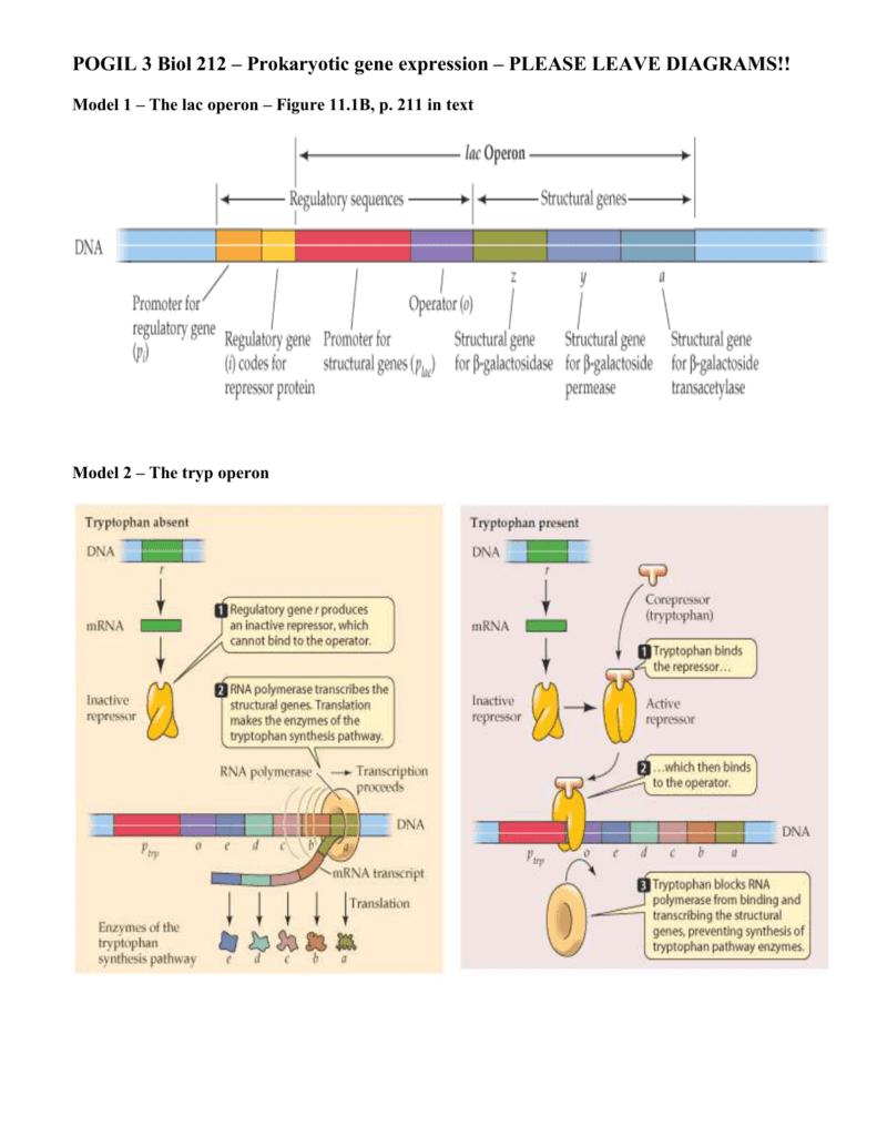Control Of Gene Expression In Prokaryotes Pogil Worksheet ...