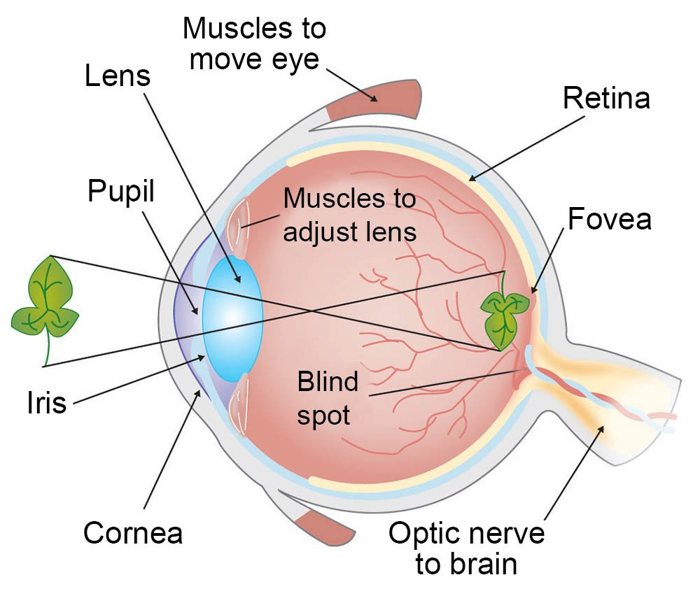 How Do We See Light  Ask A Biologist As Well As The Eye And Vision Anatomy Worksheet Answers