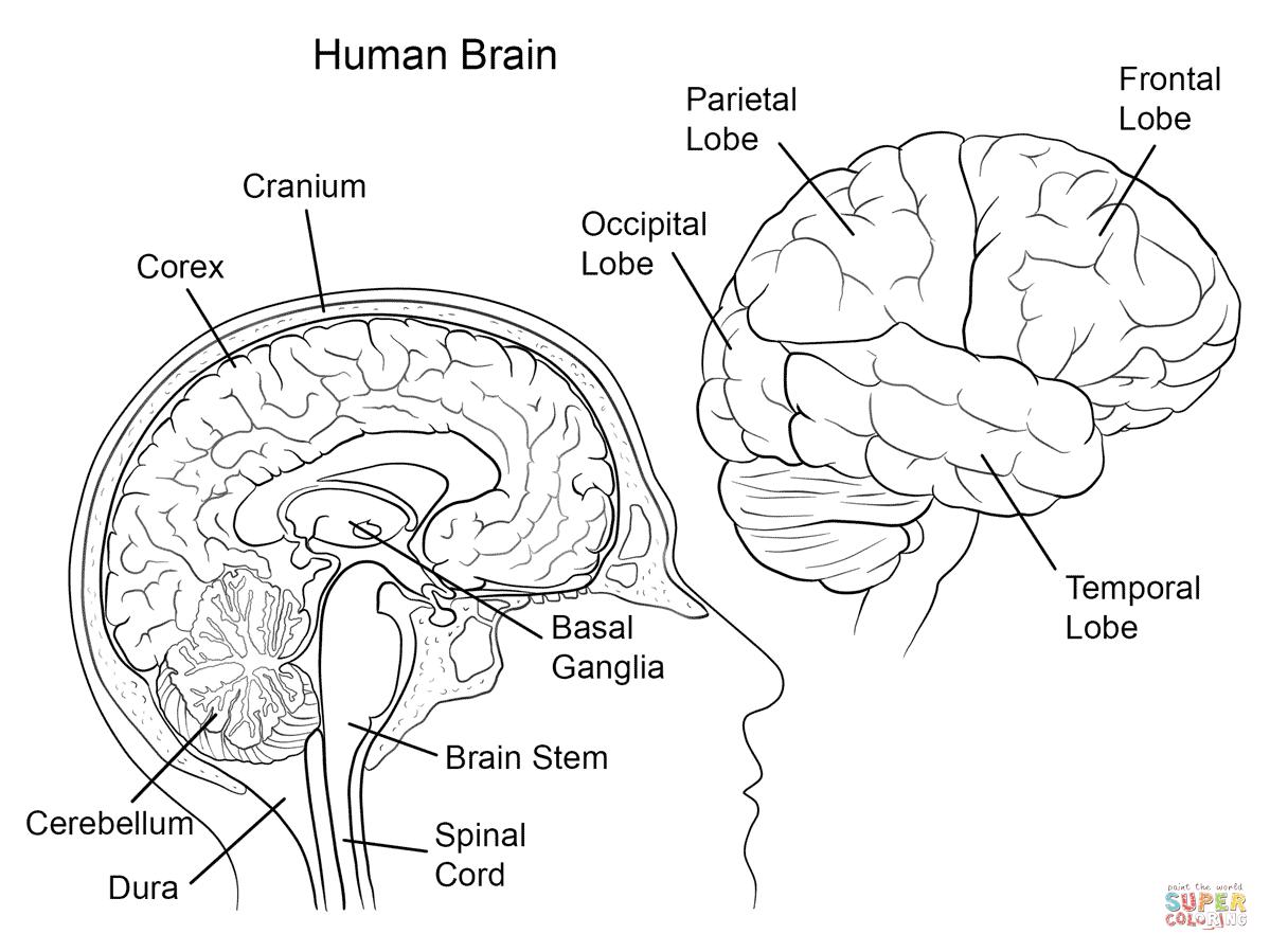 Human Brain Anatomy Coloring Page  Free Printable Coloring Pages Intended For Brain Coloring Worksheet