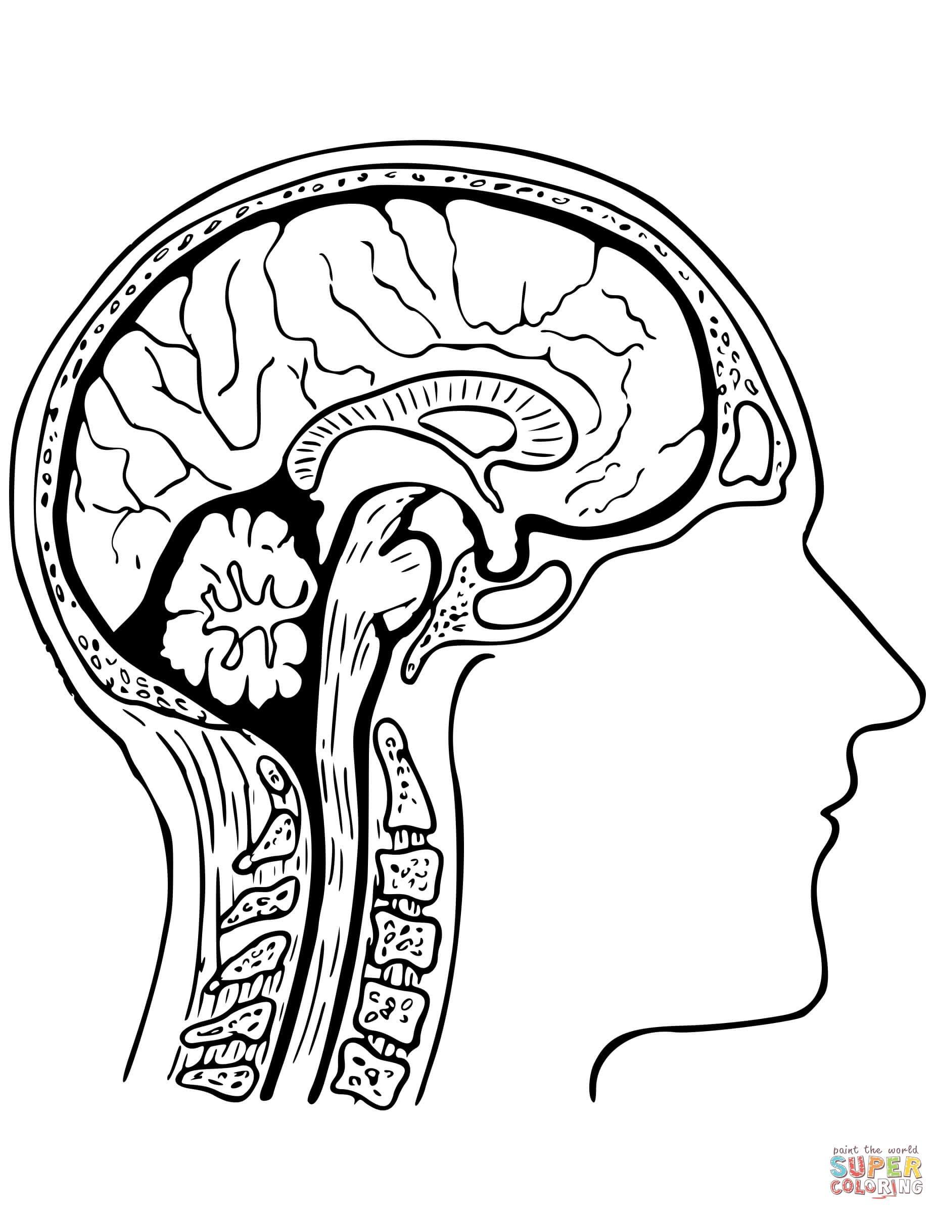 Human Brain Coloring Page  Free Printable Coloring Pages In Brain Coloring Worksheet