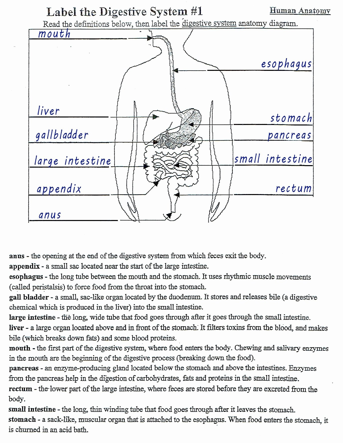 Ideas Of Anatomy Of The Digestive System Worksheet Answers Image Within Digestive System Worksheet Answers