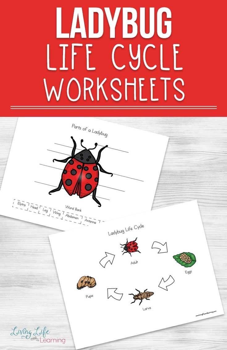Ladybug Life Cycle Worksheets For Kids Throughout Ladybug Math Worksheets