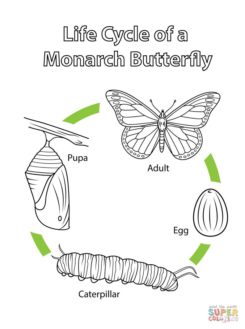 Life Cycle Of A Monarch Butterfly Coloring Page  Free Printable Regarding Monarch Butterfly Worksheets