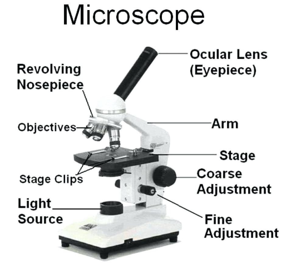 Microscope Parts Sketch At Paintingvalley  Explore Collection As Well As Microscope Labeling Worksheet
