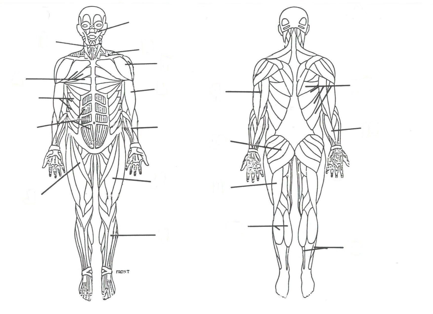 Muscular System Drawing At Paintingvalley  Explore Collection Pertaining To Muscular System Worksheet