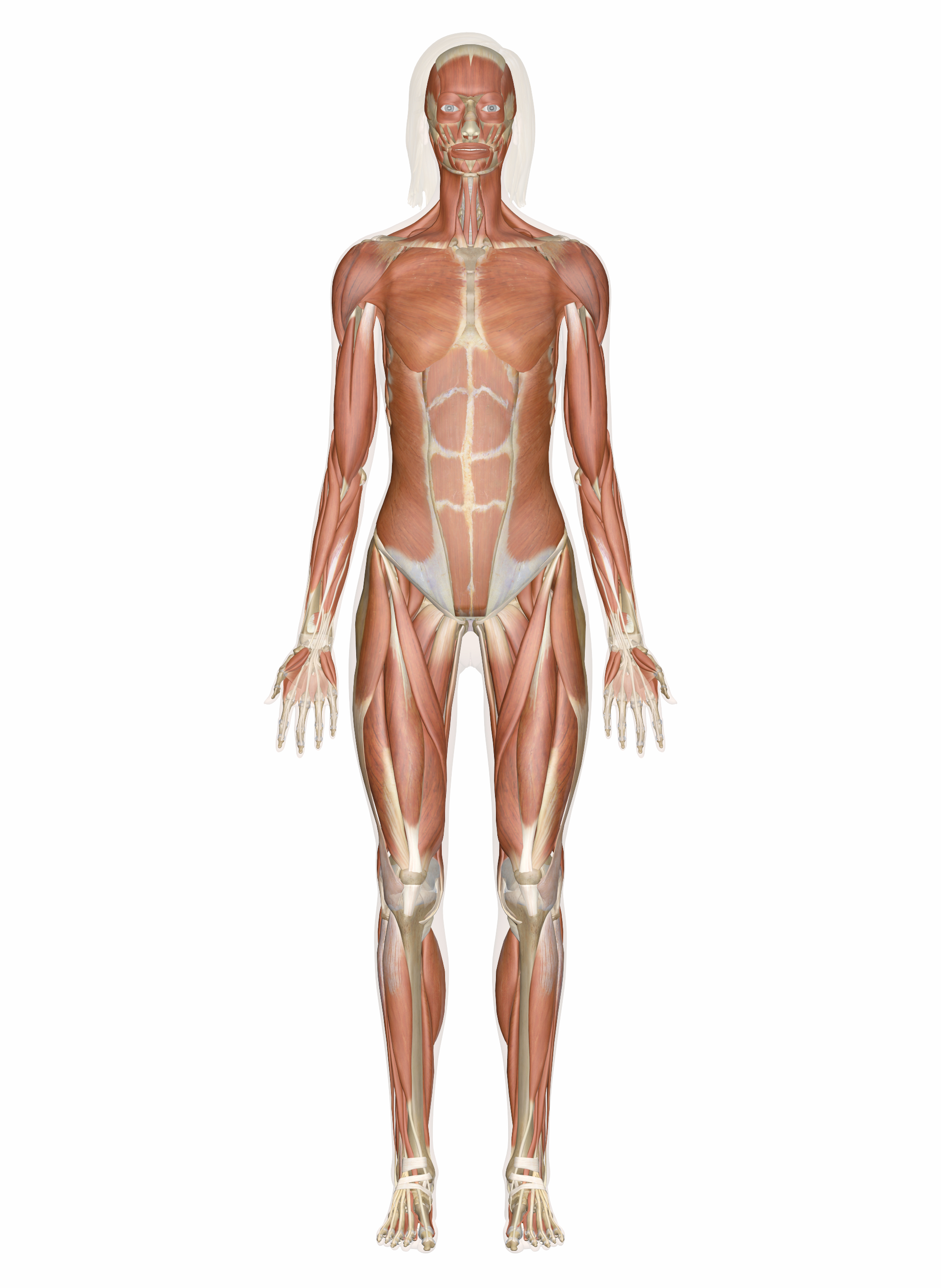 Muscular System  Muscles Of The Human Body Intended For Muscular System Worksheet