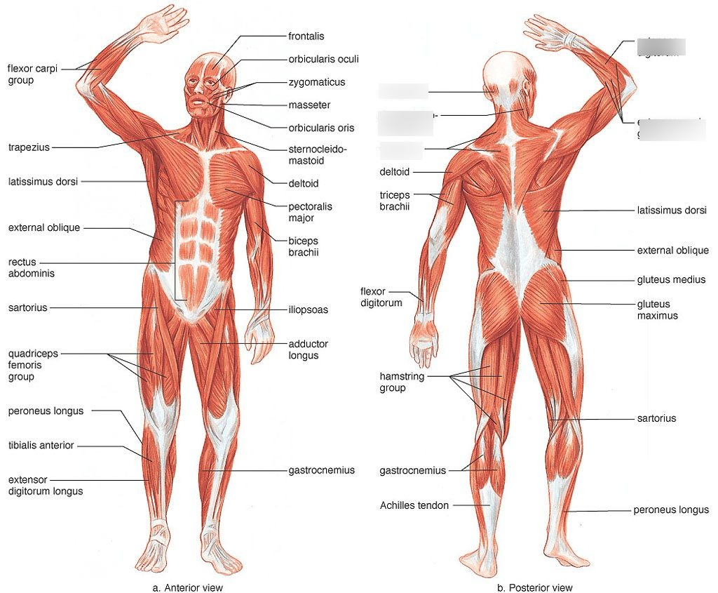 Muscular System Posterior View 1 Diagram  Quizlet Together With Muscular System Worksheet