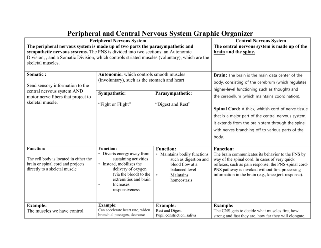 Peripheral And Central Nervous System Graphic Organizer Intended For Organization Of The Nervous System Worksheet Answers