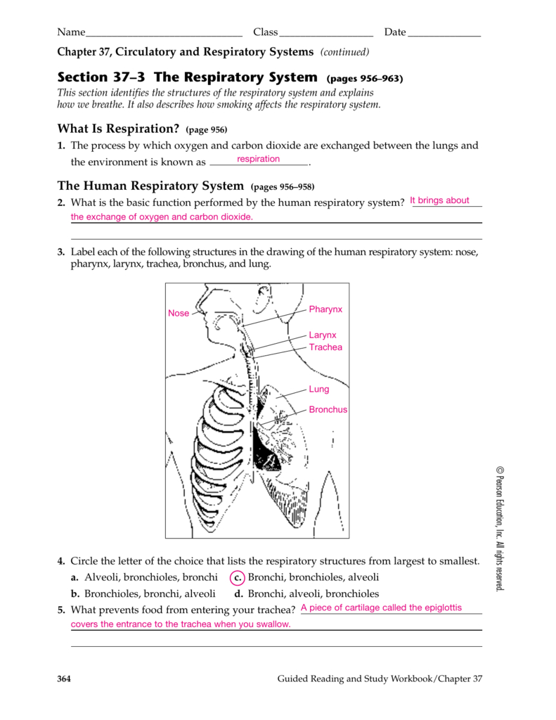 Section 37–3 The Respiratory System Pages 956–963 In Respiratory System Worksheet