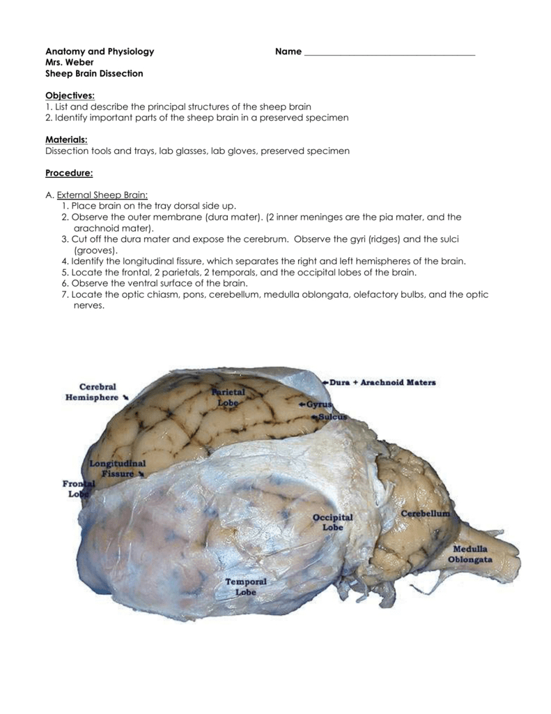 Sheep Brain Dissection As Well As Sheep Brain Dissection Worksheet