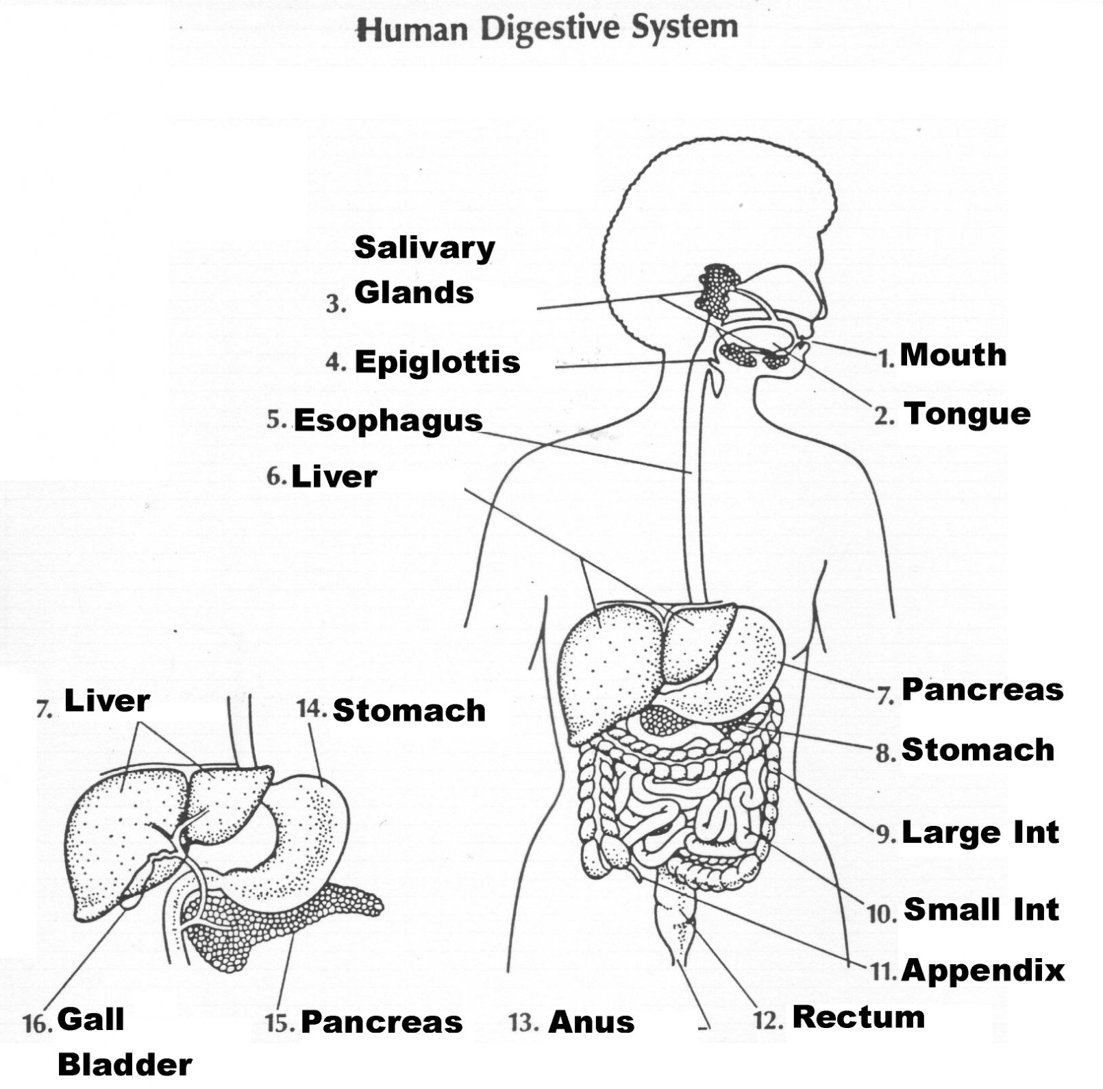 Sketch Of Human Digestive System At Paintingvalley  Explore Also The Human Digestive System Worksheet Answers