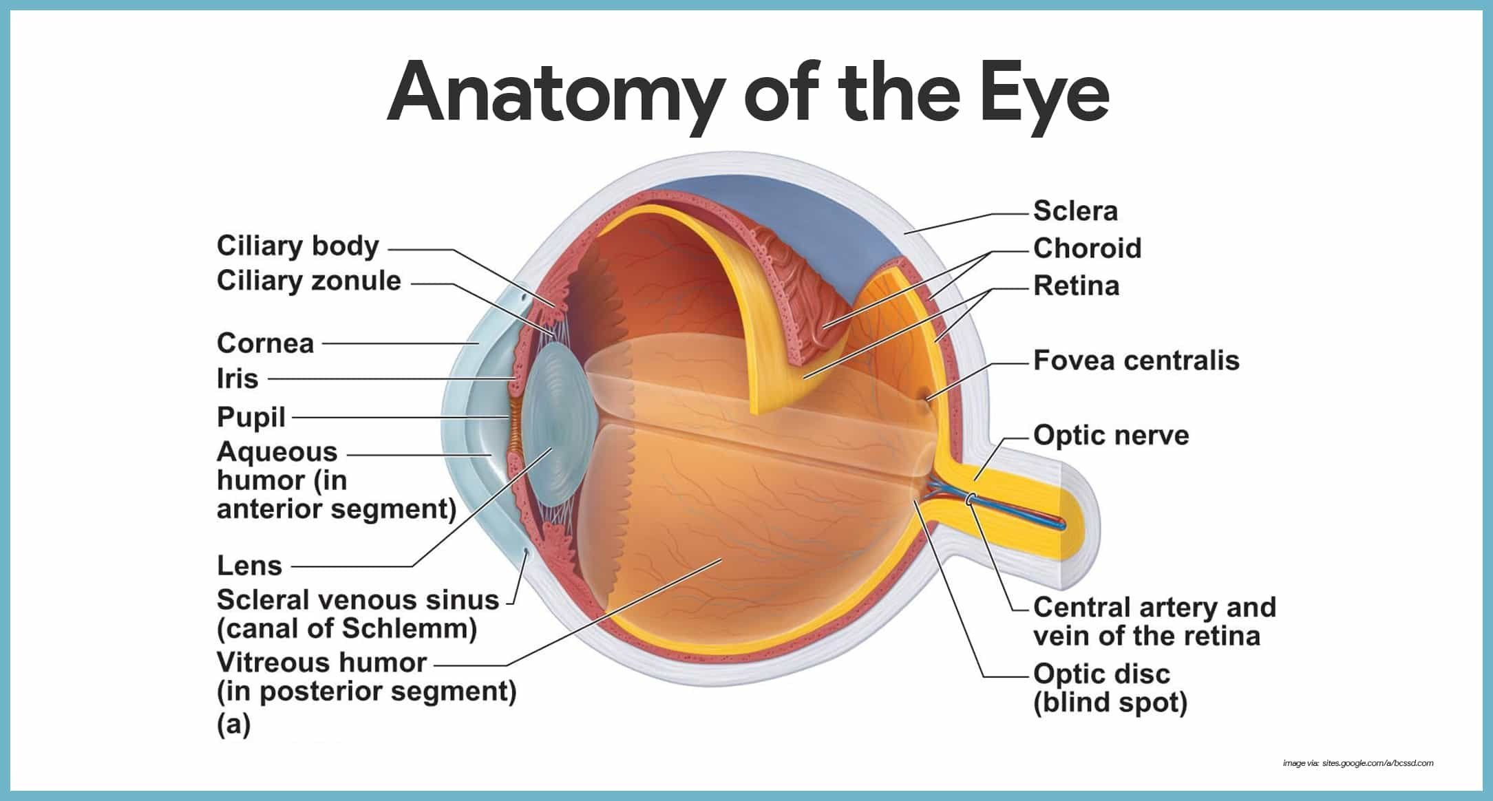 Special Senses Anatomy And Physiology  Nurseslabs Within The Eye And Vision Anatomy Worksheet Answers