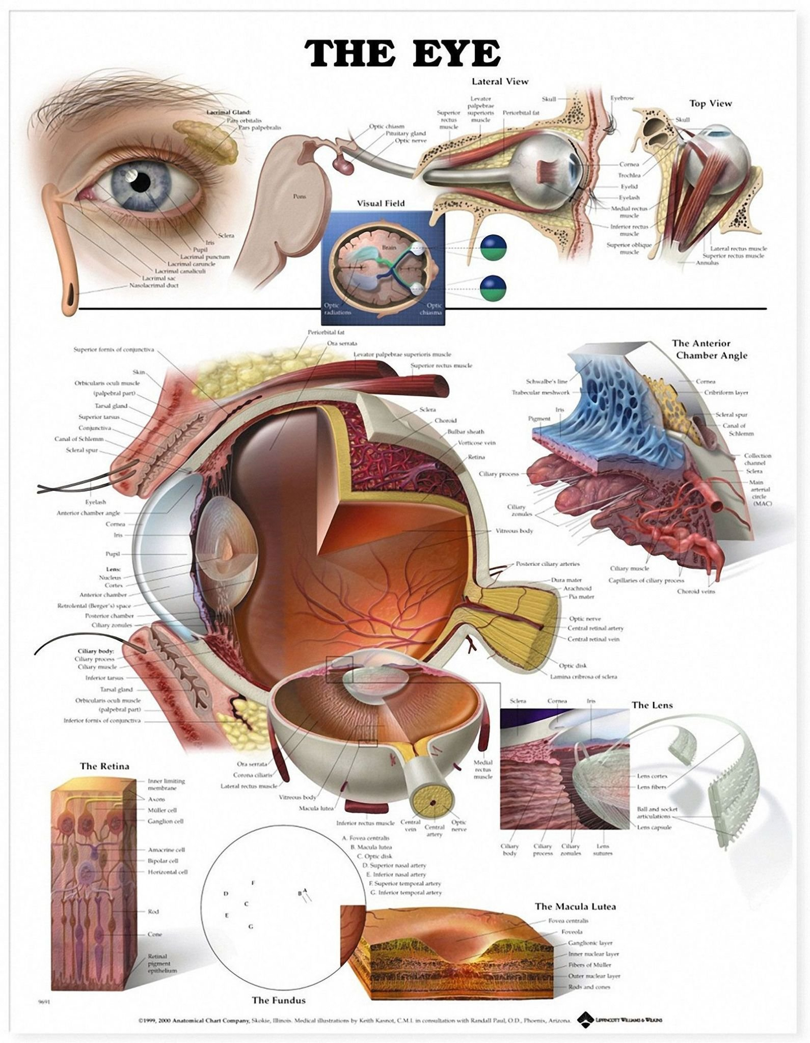 The Eye And Vision Anatomy Worksheet Answers  Briefencounters Intended For The Eye And Vision Anatomy Worksheet Answers