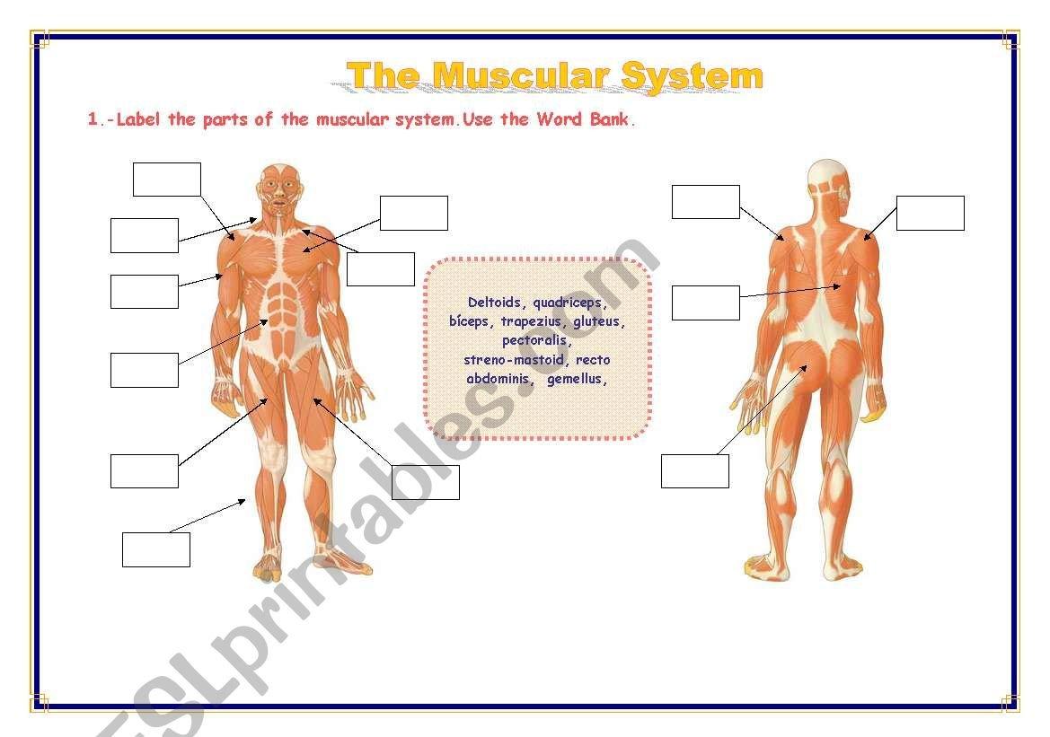 The Muscular System  Esl Worksheetrefuerzo Together With Muscular System Worksheet