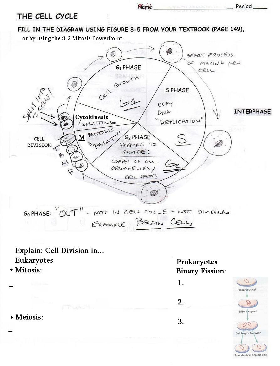 Worksheet Cell Cycle Worksheet Cell Division And The Cell Cycle Intended For Cell Cycle Labeling Worksheet Answers
