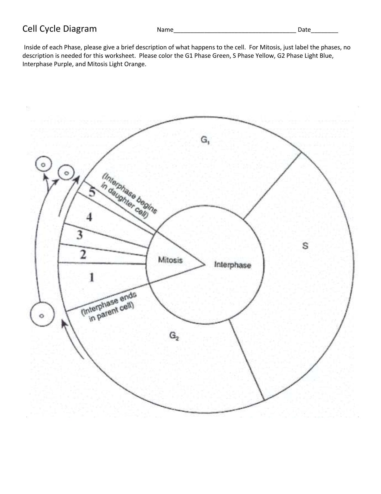 Cell Cycle Diagram Also Cell Cycle Labeling Worksheet