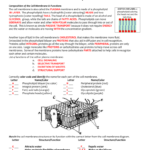 Cell Membrane  Tonicity Worksheet Intended For Cell Membrane Worksheet Answers