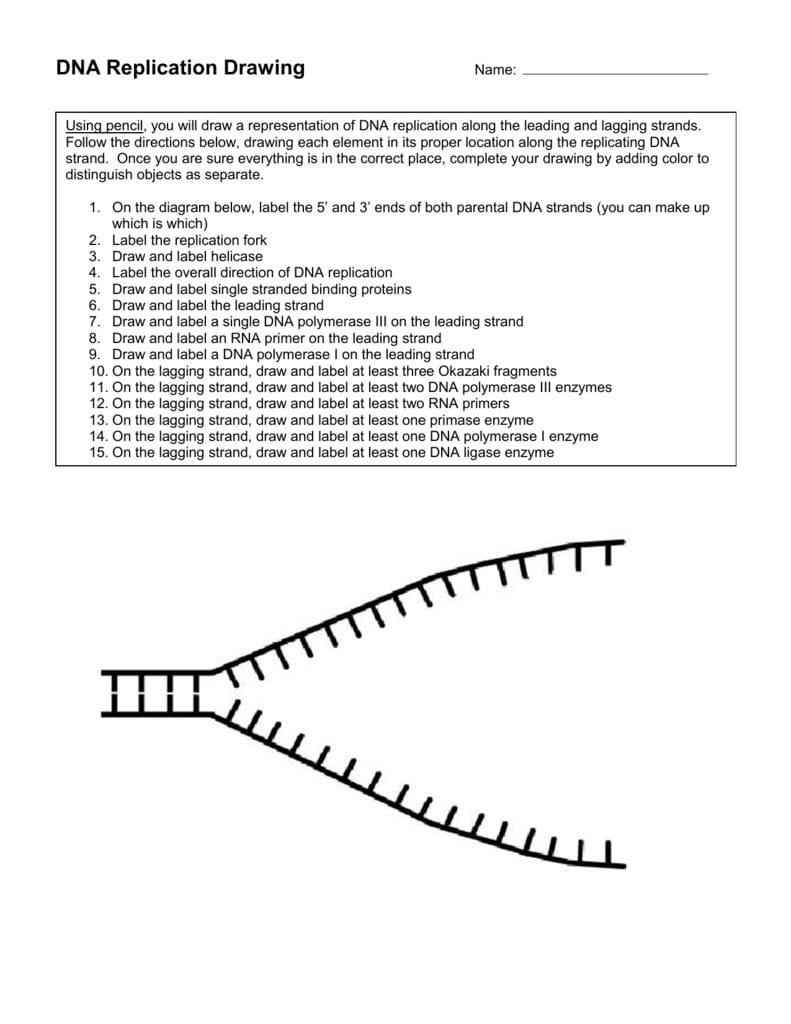 Dna Replication Fork Drawing Inside Dna Replication Worksheet Pdf