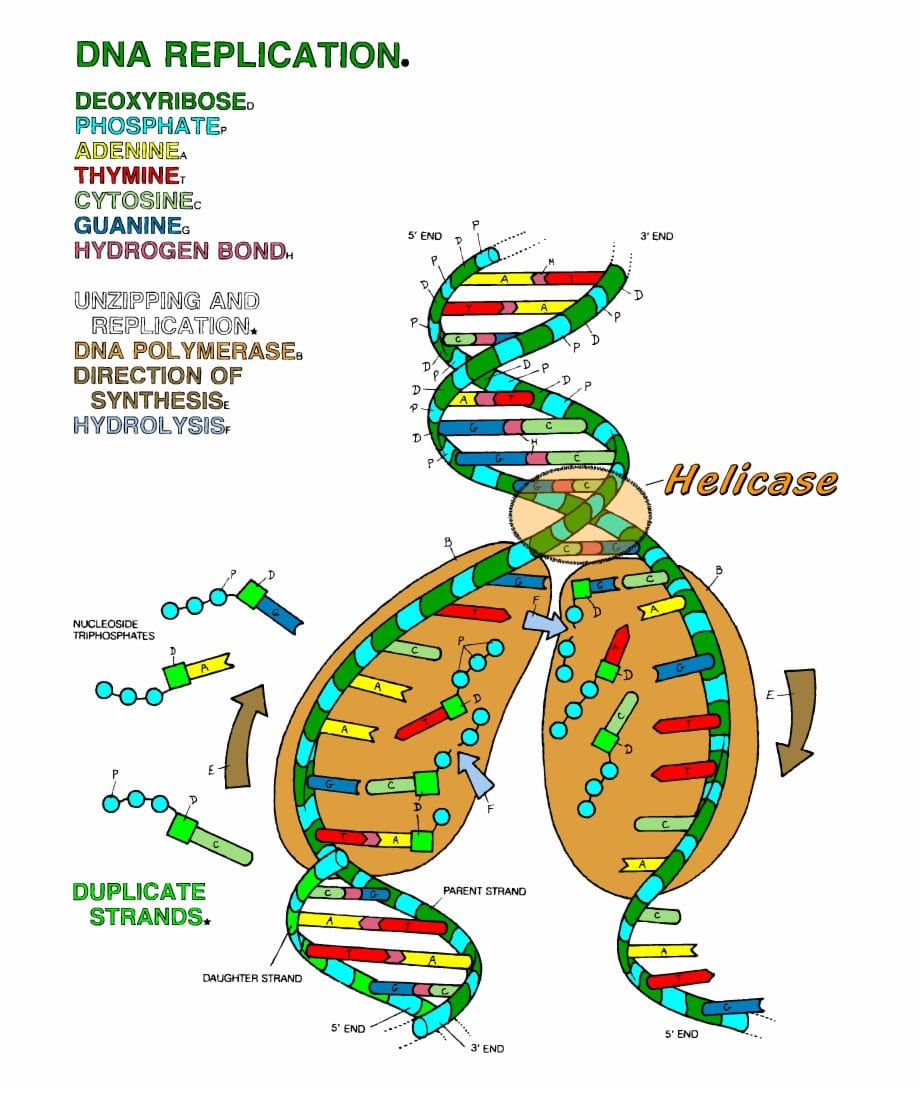 Dna The Double Helix Coloring Worksheet  Dna Replication Coloring In Dna The Double Helix Worksheet Answer Key