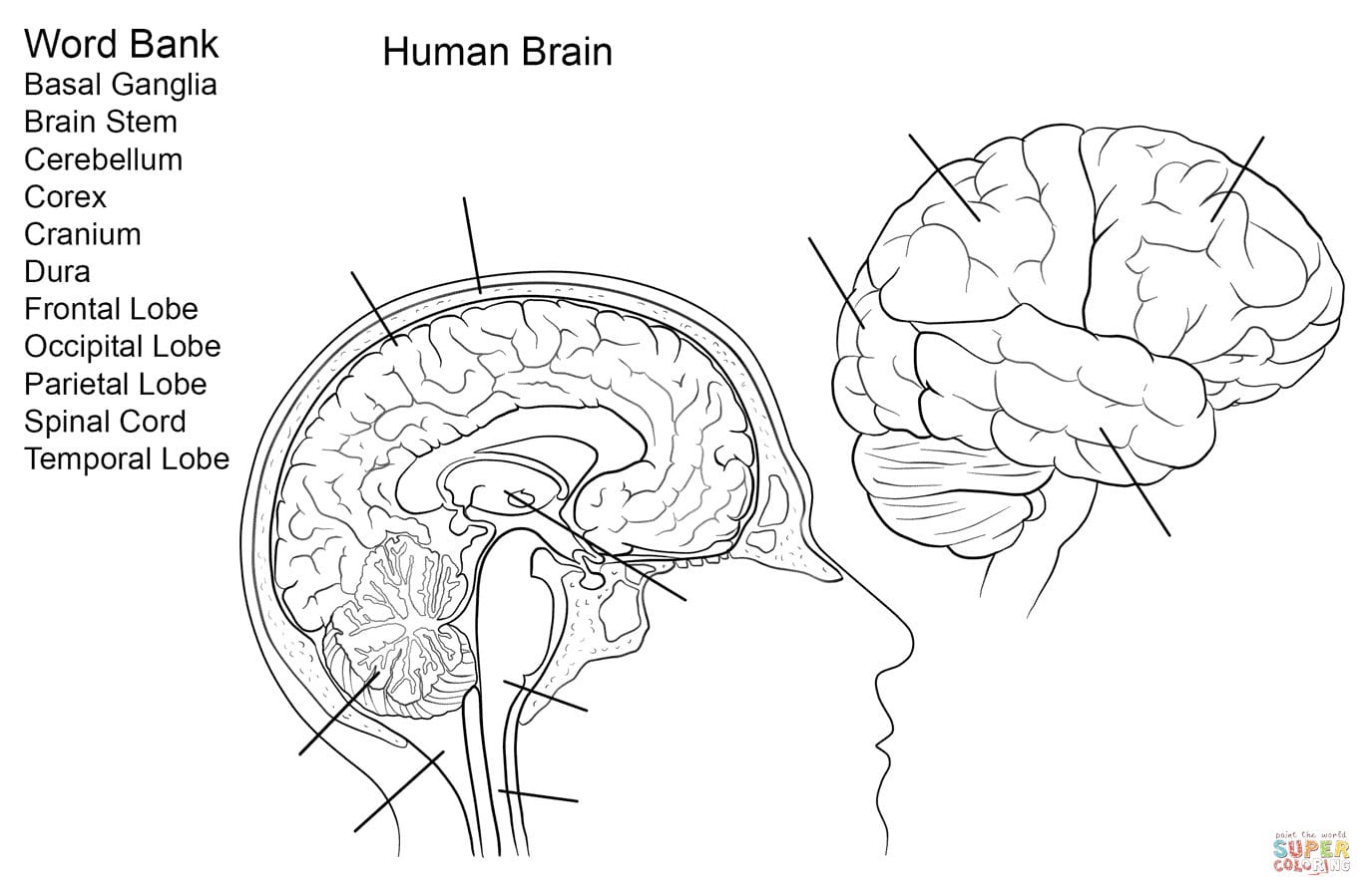Human Brain Worksheet Coloring Page  Free Printable Coloring Pages Throughout Skin Diagram Coloring And Labeling Worksheet