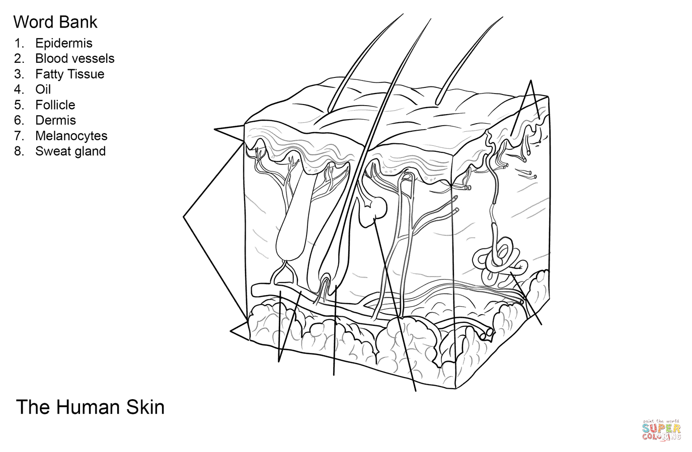Human Skin Anatomy Worksheet Coloring Page  Free Printable Coloring For Skin Diagram Coloring And Labeling Worksheet