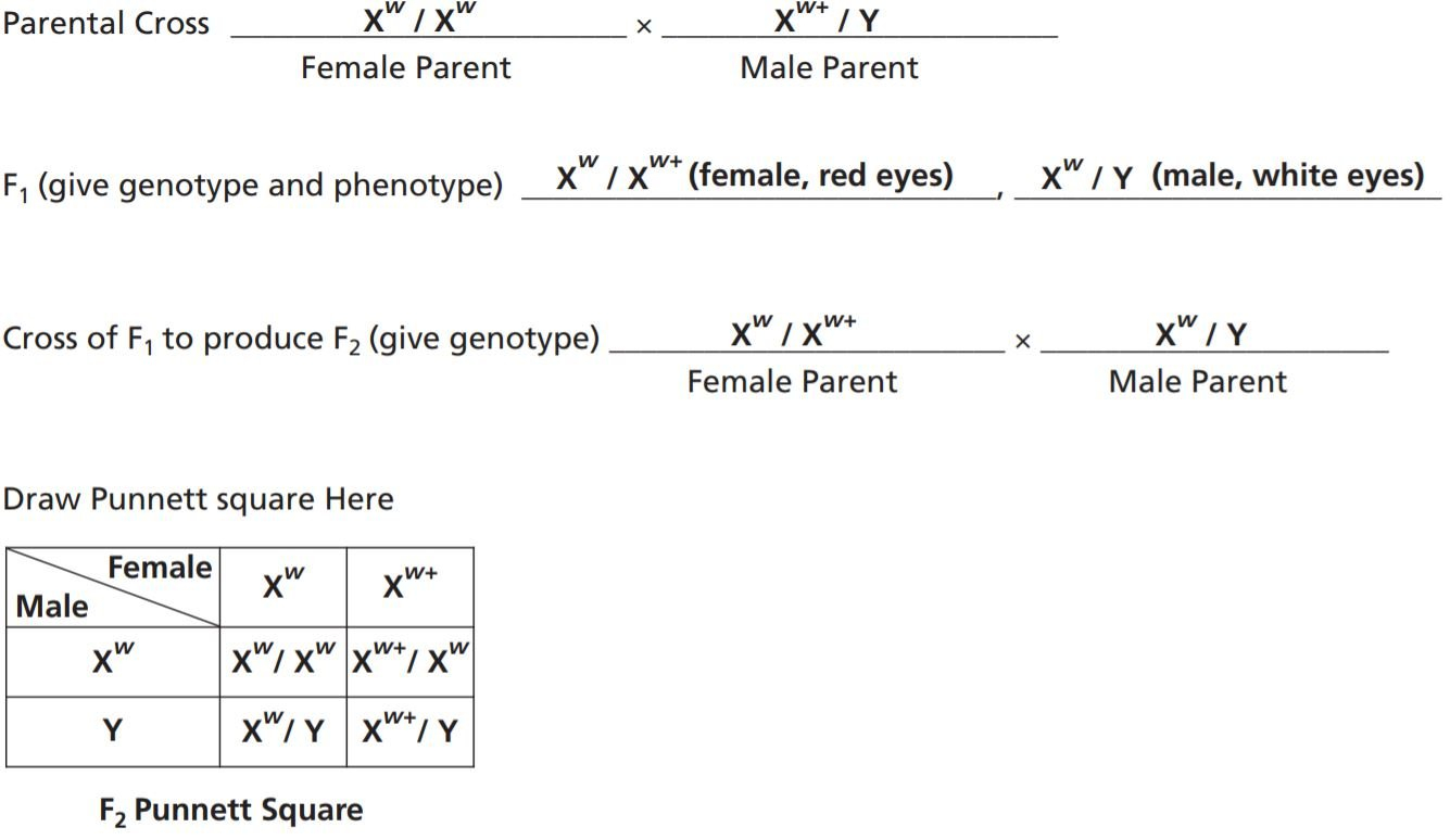 Introductory Genetics With Drosophila  Carolina Pertaining To Genetics Basics Worksheet