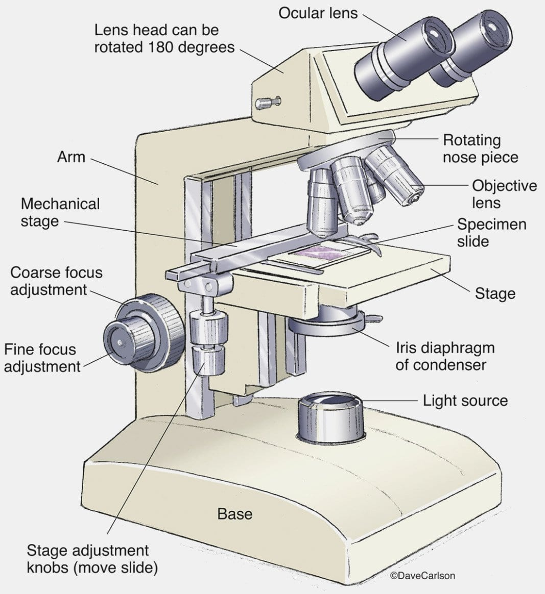 Microscope Drawing Worksheet At Paintingvalley  Explore Inside The Compound Light Microscope Worksheet