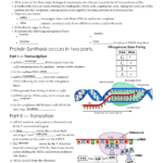 Protein Synthesis  Issaquah Connect Also Dna To Rna To Protein Worksheet