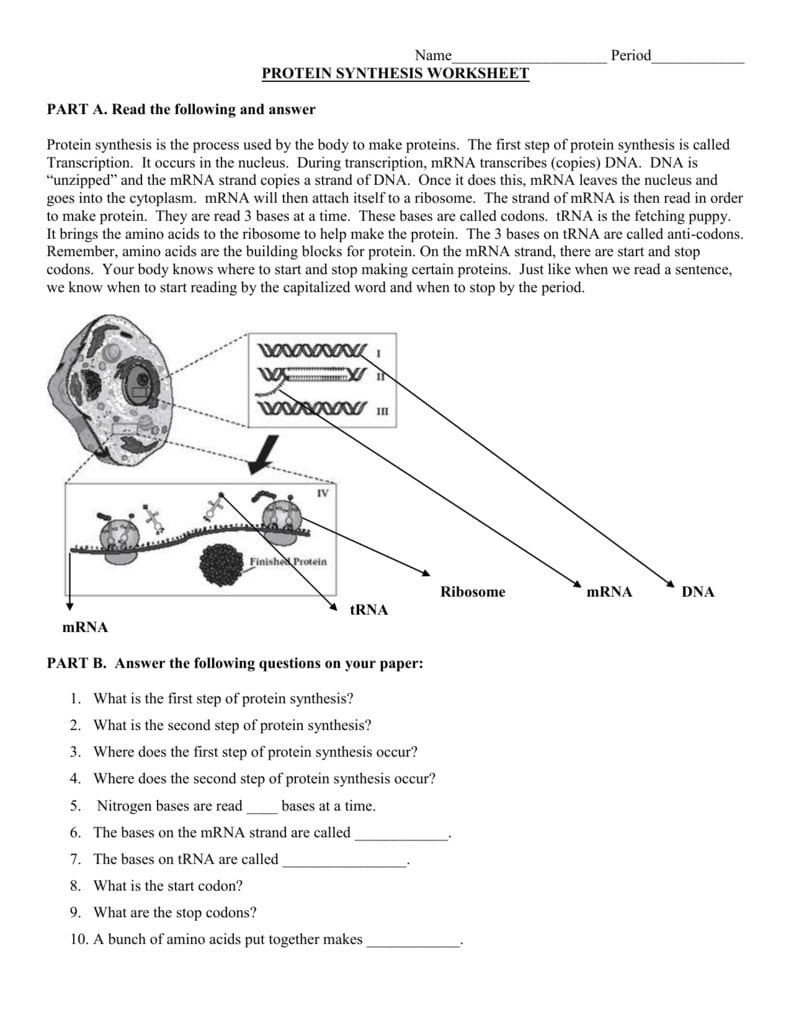 Protein Synthesis Worksheet For Protein Synthesis Worksheet Answer Key Part B