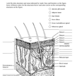 Skin Worksheet For Skin Diagram Coloring And Labeling Worksheet