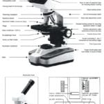 The Compound Light Microscope Worksheet  Briefencounters Regarding The Compound Light Microscope Worksheet