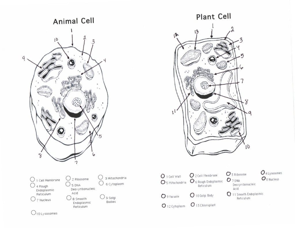Worksheet Cell Worksheets Plant Cell Essay Animal Worksheet Within Plant Cell Worksheet